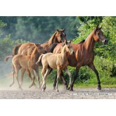Jigsaw puzzle 2000 pcs - Purebred Arabians (by Castorland)