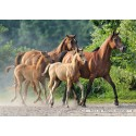 2000 pcs - Purebred Arabians (by Castorland)