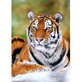 Jigsaw puzzle 500 pcs - Syberian Tiger (by Castorland)