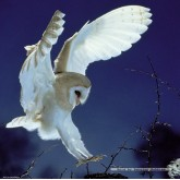 1000 pcs - Barn Owl  - Weingarten (by Heye)