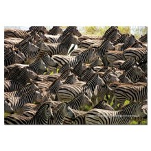 Jigsaw puzzle 500 pcs - Herd of Zebras - Impossible (by Educa)