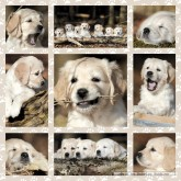 Jigsaw puzzle 1000 pcs - Sweet Puppies - Square (by Schmidt)