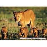 Jigsaw puzzle 150 pcs - Lions (by Jumbo)